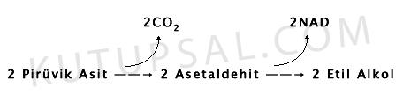Hucresel Solunum Etil Alkol Fermantasyonu