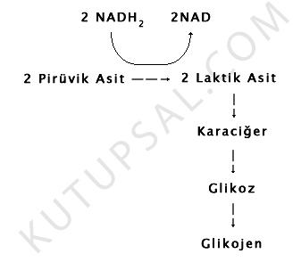 Hucresel-Solunum-Laktik-Asit-Fermantasyonu